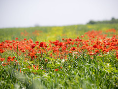 P5310511 (turbok) Tags: blumenwiese blütenrot klatschmohnpapaverrhoeas landschaft pflanze wildblumen wildpflanzen c kurt krimberger