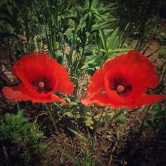 Maki (basiamarcisz) Tags: kwuaty przyroda narure natura flower kwiat mak poppy