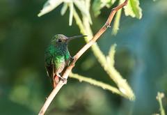 IMG_5167  Rufous-tailed Hummingbird (ashahmtl) Tags: rufoustailedhummingbird hummingbird amaziliatzacatl birdingparadise paraiso chiriquiprovince panama