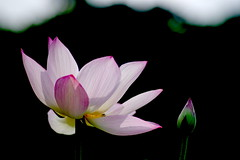 Good morning. (parrot0901) Tags: lotus backlighting chinon135mmf28