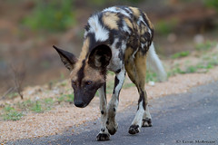 Mean Machine (leendert3) Tags: leonmolenaar southafrica krugernationalpark wildlife nature mammals africanwilddog ngc npc coth5