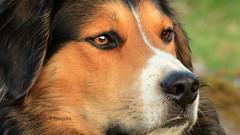 Hundeblick (petra.foto busy busy busy) Tags: bruno garten portrait hund rüde blick hundeblick hundeaugen fotopetra canon 5dmarkiii 150600