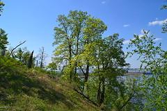 Trees on the riverward slope (МирославСтаменов) Tags: russia zhiguli mogutova forest slope mountain tree volga crown