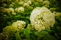 Hydrangea flowers at spring park (phuong.sg@gmail.com) Tags: background beautiful beauty bloom blooming blossom closeup color colorful ecology environment flora floral flower flowerbackground fresh growth head herb hortensia hydrangea hydrangeaflower light macrophylla nature outdoors park plant white yellow