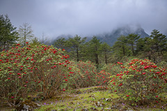 Rhododendron flowers in Yumthang Valley or Sikkim Valley of Flowers (CamelKW) Tags: sikkimindia2018 rhododendron flower yumthangvalley sikkimvalleyofflowers sikkim