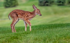 All Alone (Wes Iversen) Tags: grandblanc michigan tamron150600mm animals babies deer fawn fawns grass mammals rain whitetaileddeer wildlife