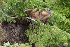 Nature Lover (PamsWildImages) Tags: grizzly bear nature naturephotographer wildlife wildlifephotographer wilderness bc britishcolumbia canada canon 1dxmarkii 100400mm pamswildimages pammullins