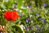 Summer Colours.. SE15 (Adam Swaine) Tags: meadows londonmeadows englishmeadows flora flowers commonpoppy naturelovers nature england english summer petals wildflowers british beautiful peckehamryepark londonparks canon