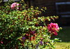 DSC_0271 (PeaTJay) Tags: nikond750 reading lowerearley berkshire macro micro closeups gardens outdoors nature flora fauna plants flowers rose roses rosebuds