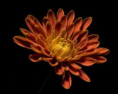The Invitation 1126 (Tjerger) Tags: nature flower bloom blooming plant natural flora floral blackbackground portrait beautiful beauty fall wisconsin macro closeup single mum invitation