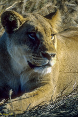 lioness (MiguelVP) Tags: africa animals lioness