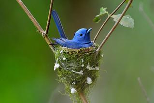 Black-naped Blue Monarch, 黑枕藍鶲