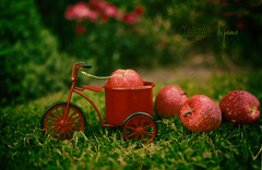 pommes (Chocolatine photos) Tags: pommes rouge vélo still life 52anonymos photo photographesamateursdumonde pdc flickr nikon nature makemesmile red lifeisarainbow