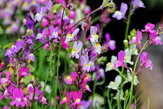 🌸Lovely Linaria!🌸