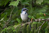 """""""Feisty"""" Scrub Jay, a frequent visitor to our yard (marknewsome) Tags: scrubjay"""