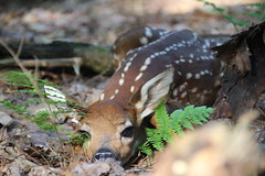 Fawn at Dawn (jefftome) Tags: fawn deer whitetailed baby spring may animal mammal spots brown nature