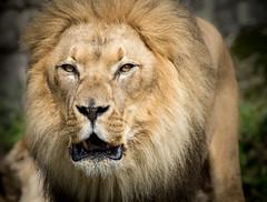 Male Lion (Panthera leo) (Wade Tregaskis) Tags: lion pantheraleo eyecontact male mouthopen portrait teeth tongue
