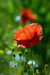 Poppies (Kapitalist63) Tags: poppies flowers field color red cluster meadow nature plants beauty look view sight bright light yupiter37
