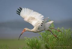 White Ibis (Kevin James54) Tags: eudocimusalbus ibis nikond850 tamron150600mm whiteibis wilmington animals avian bird fortfisher kevingianniniphotocom