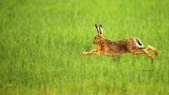 nur fliegen ist schöner....................... (petra.foto busy busy busy) Tags: hase feldhase meisterlampe kornfeld tiere aufdemland natur wildlife frühjahr fotopetra canon 5dmarkiii 150600 germany schleswigholstein