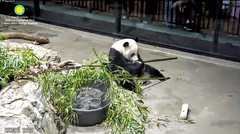 2018_06-02n (gkoo19681) Tags: beibei chubbycubby fuzzywuzzy adorableears feetsies treattime yummyfruitcicle stayingcool contentment savoring licketylick delicious precious meltinghearts toocute adorable cooldude ccncby nationalzoo
