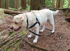 Gracie looking down the trail (walneylad) Tags: gracie dog canine pet puppy lab labrador labradorretriever cute may spring afternoon princesspark