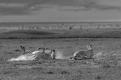 Dust bath (tmeallen) Tags: zebras equusquagga dustbath rainyseason grasses blackandwhite rolling craterrin ngorongorocrater tanzania eastafrica safari wildlife bathinghole
