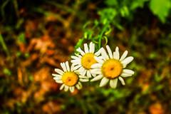 Simplicity (Val-of-Ark) Tags: arkansas outdoors nature spring canon 80d flower daisies daisy pedal selectivefocus bokeh closeup