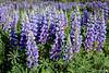 Stunning Lupine (dekish1) Tags: copyrightdavidkish2018 colorado 2r1a8518jpg lupine wildflower purple canon5dmarkiv canon2470mm
