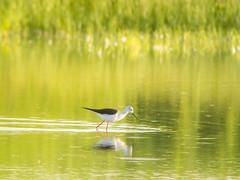 P5310387 (turbok) Tags: stelzenläuferhimantopushimantopus tiere vögel wildtiere c kurt krimberger