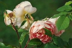 Rose -7- (mamietherese1) Tags: ngc world100f earthmarvels50earthfaves