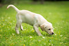 Holly (aveyardphotography) Tags: holly labrador puppy yellow grass garden