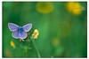 Papillon bleu (Des.Nam) Tags: bleu vert jaune papillon nature macro proxy desnam couleur nordpasdecalais nikon d800 105mmf28