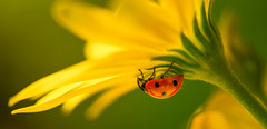 Shelter (grbush) Tags: ladybird ladybug insect flower floraandfauna nature macro closeup shelter colour sonyilce7 tamronaf90f28disp petal yellow osteospermum