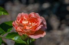 rippled rosy rose (Pejasar) Tags: rose flower blossom bloom tulsabotanicalgardens tulsa oklahoma