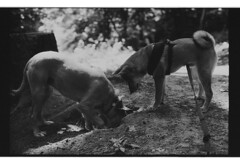 P62-2018-023 (lianefinch) Tags: argentique argentic analogique analog monochrome blackandwhite blackwhite bw bx noirblanc noiretblanc nb dogs dog shiba inu griffon play playing joue nature forêt forest