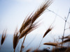 Following the shape of wind (Lemesis) Tags: ears corn may