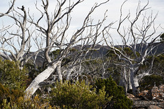 20180527-26-Dead snow gums (Roger T Wong) Tags: 2018 australia mtfield mtfieldeast np nationalpark rogertwong sel2470z sony2470 sonya7iii sonyalpha7iii sonyfe2470mmf4zaosscarlzeissvariotessart sonyilce7m3 tasmania bushwalk outdoors snowgums tramp trek walk