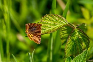 Burnet Companion Moth (Euclidia glyphica)