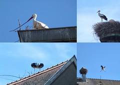 Et voilà les cigognes de Munster ! (FloDL) Tags: alsace hautrhin cigognes espèceprotégée nid amoureux envol munster oiseausacré portebonheur symbole échassier symbol goodluck sacredbird wader