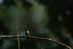 Ruby-throated hummingbird (Bird-guy) Tags: ruby throated hummingbird clayton county georgia