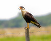 "Crested Caracara (robertemond) Tags: talons carrion animal birdofprey bird sarasota elements ""crestedcaracara"