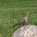 21. Mourning Dove
