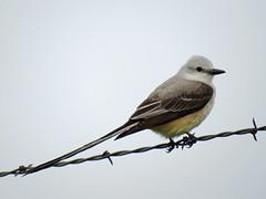 IMG_0101-1 (lbj.birds) Tags: kansas nature flinthills wildlife bird flycatcher scissortailedflycatcher