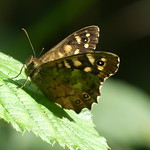 Speckled wood P1760225 thumbnail