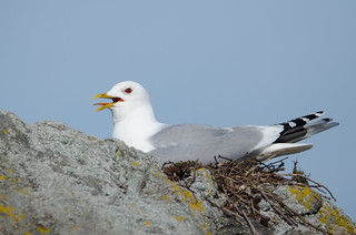 Larus canus (on Nest)