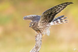 Albanella Minore - Montagu's Harrier