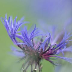 * (Jaan Keinaste) Tags: pentax k3 pentaxk3 eesti estonia lill flower jupiter37a