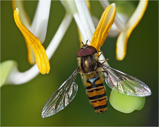 Male marmalade hoverfly (Episyrphus balteatus)