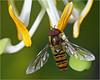 Male marmalade hoverfly (Episyrphus balteatus) (Foto Martien) Tags: marmaladehoverfly pyjamazweefvlieg dubbelbandzweefvlieg snorzweefvlieg cocacolazweefvlieg hainschwebfliege winterschwebfliege syrpheceinturé moscacernidora episyrphusbalteatus hoverfly glider zweefvlieg schwebfliege syrphe insect insekt europeanhoverfly europe pollen nectar honey stuifmeel honing flower bloem passiflorahoeve harskamp zorgboerderij zorginstelling veluwe gelderland nederland netherlands holland macro macrophoto macrofoto macroopname minoltamacro100mm28mm sonyilca77m2 sonyalpha772 alpha a77m2 fotomartien martienuiterweerd